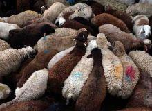 قربانی گوسفند در عید قربان